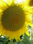 a gorgeous sunflower