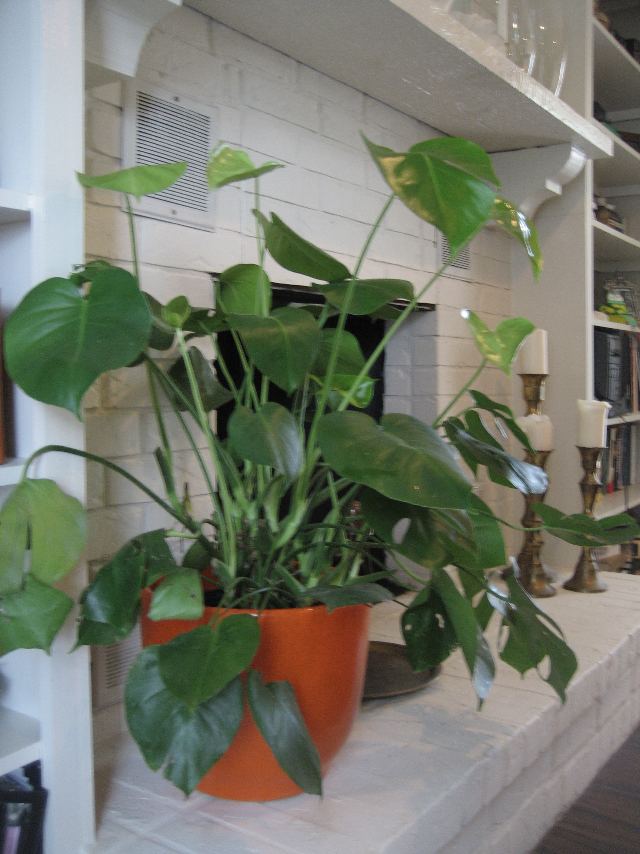 split leaf philodendron | The Long Table