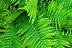 fern-gardening
